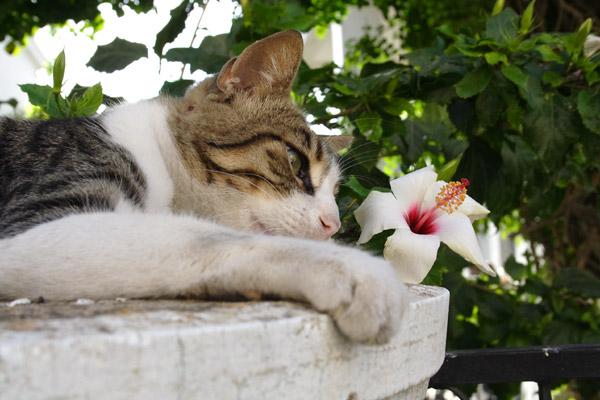 Græsk kat
